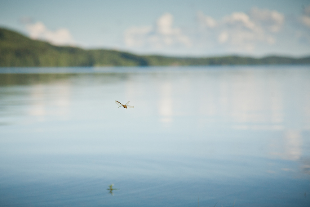 Not a Butterfly, but a Dragonfly skimming the surface of A Swedish Lake - from my projects © James McDonald 2013