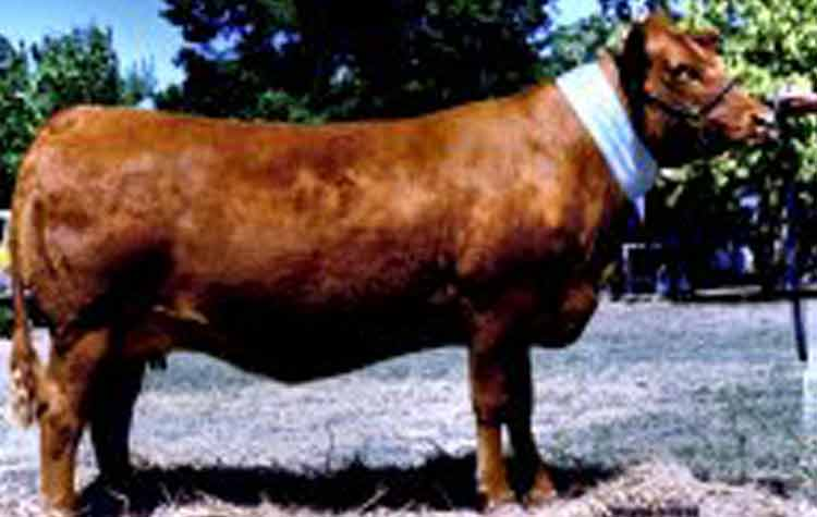 Premier Exotic U75 Royal and National ribbon winner, Exotic was purchased in 2004 for $12,000.She is out of the esteemed cow, Whitelakes Exotic. Her two female ET progeny by Ionesco are stunning, exceptionally deep and long and have been retained. Exotic herself died of an injury and the last Ionesco embryo calf of hers is due to arrive this October.