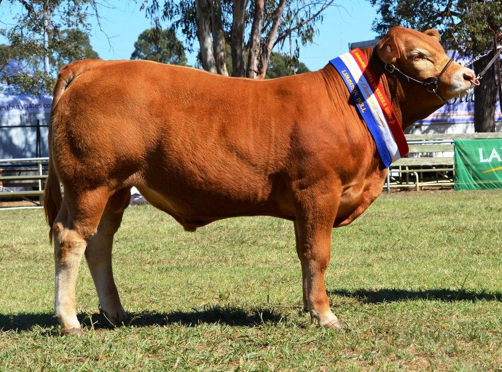 Longreach Lumberjack Junior Champion Bull Canberra Royal 2016