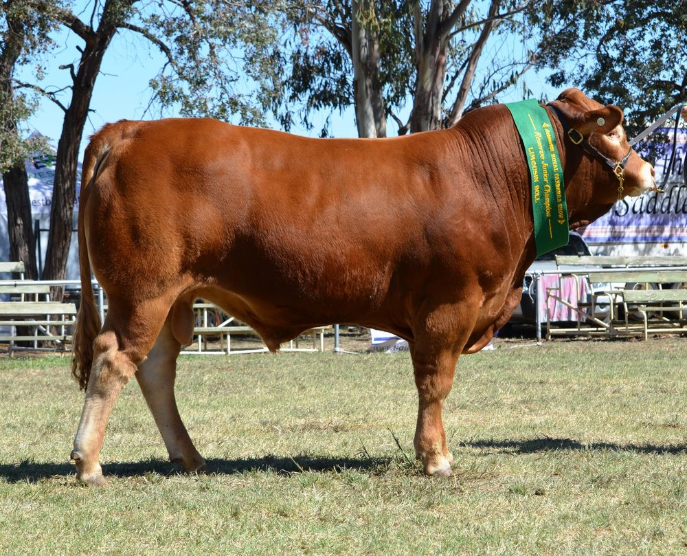 Longreach Know-It-All Reserve Junior Champion Bull Canberra Royal 2016