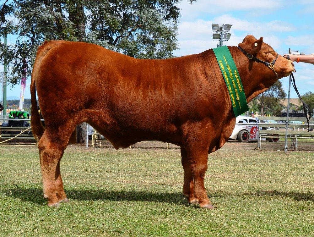 Longreach Leon Reserve Junior Champion Bull Canberra Royal 2017