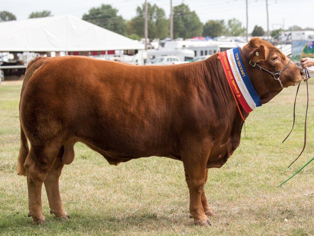 Longreach Muscle Man Junior & Grand Champion Bull Canberra Royal 2018