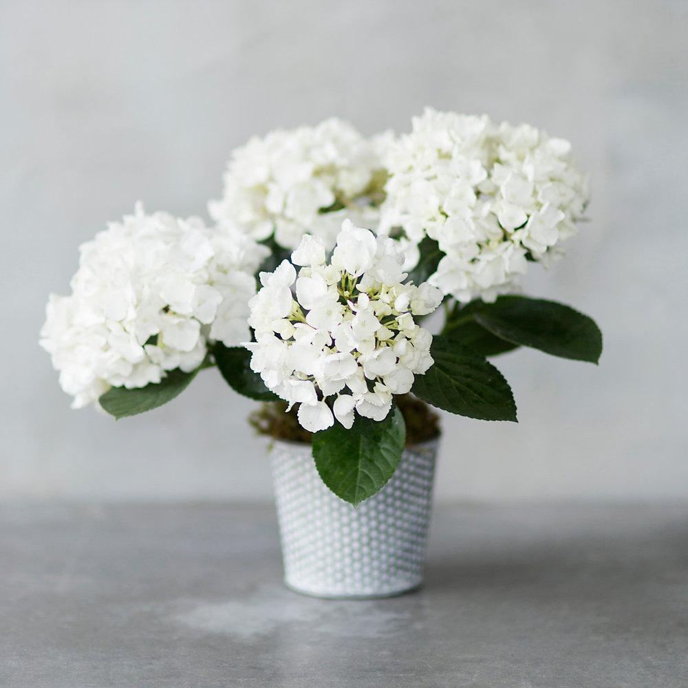 TERRAIN White Hydrangea $48