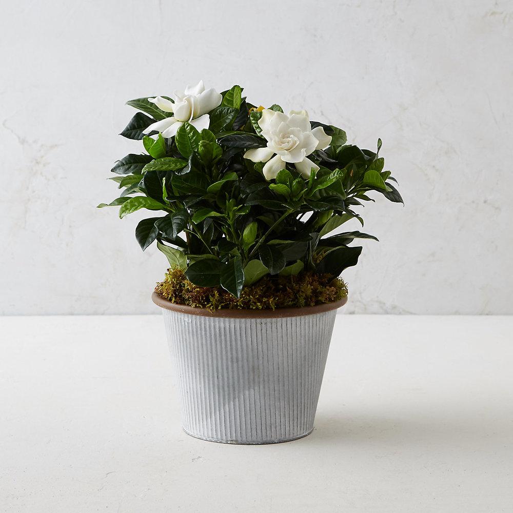 TERRAIN Gardenia $48