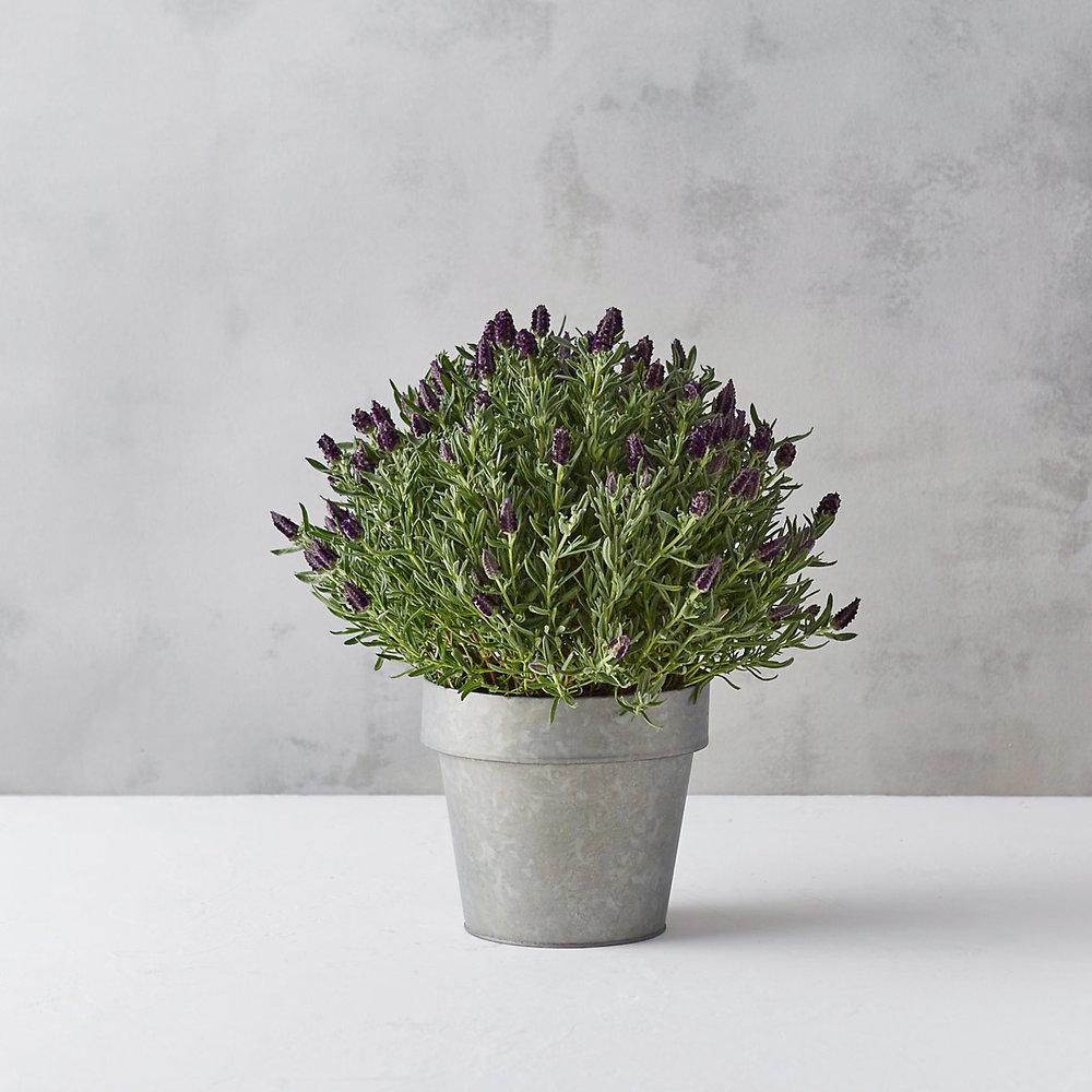 TERRAIN Spanish Lavender $68