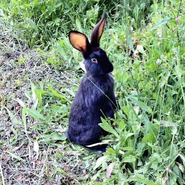 Première rencontre matinale au camping de Vesc dans la Drôme. Lapin noir aux oreilles rouges de bon matin sont le signe de vacances qui commencent bien. (Pris avec  Instagram  à Vesc)