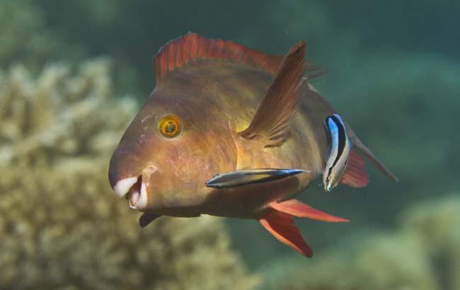 Parrotfish6.jpg