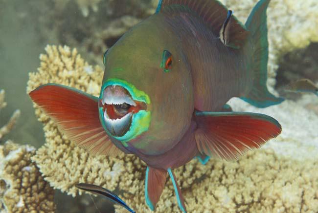 Parrotfish9.jpg