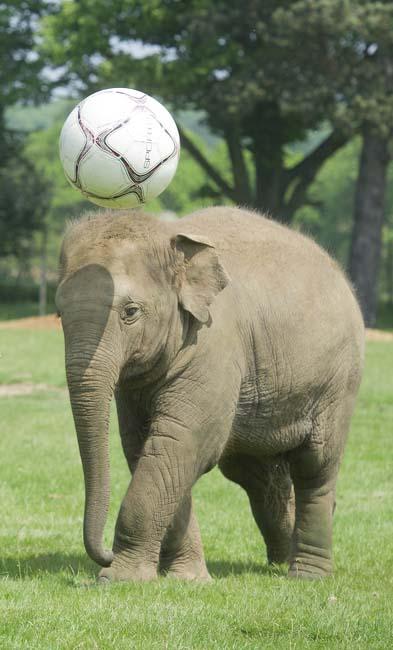 NWS-LRY-ElephantFootball15.jpg