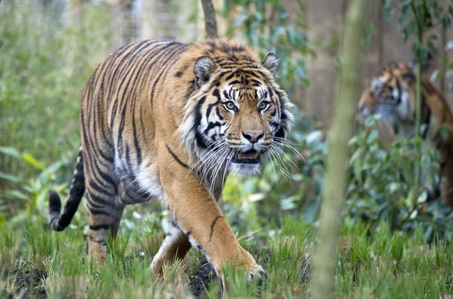 NWS-LRY-TigerTerritory14.jpg