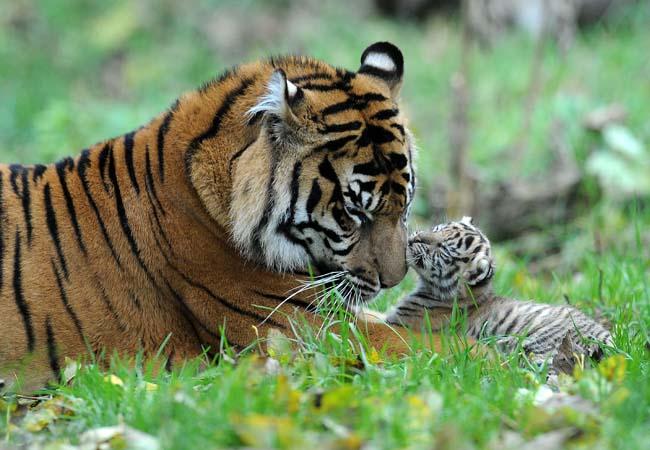 Tiger cubs2.jpg