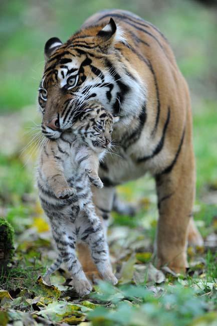 TigerCubsLR2.jpg
