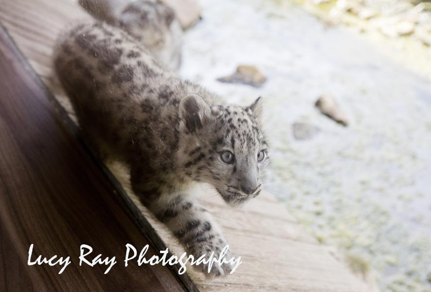 Snow Leopard Cubs9.JPG