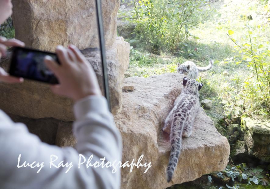 Snow Leopard Cubs22.JPG