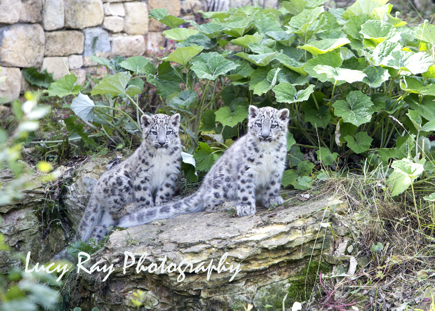 Snow Leopard Cubs33.JPG