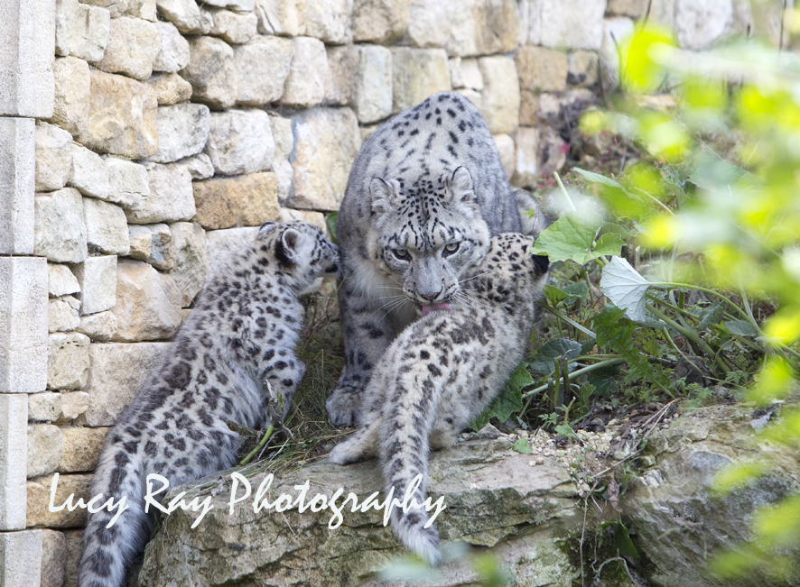 Snow Leopard Cubs35.JPG