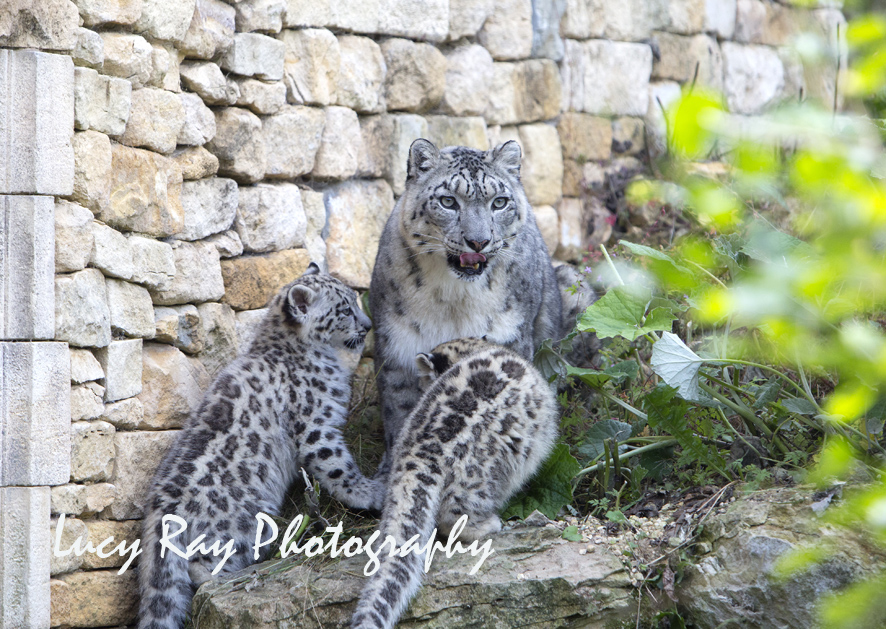 Snow Leopard Cubs37.JPG