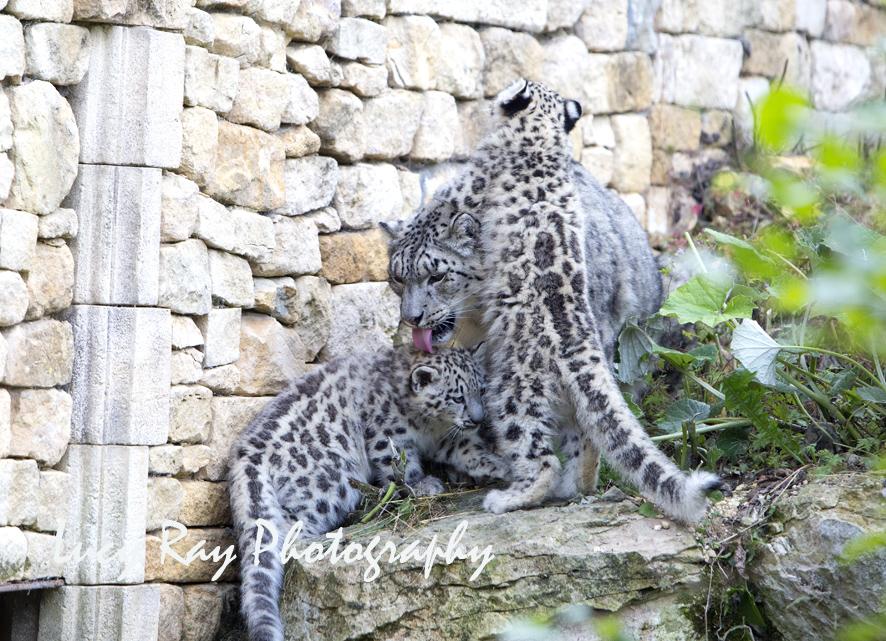 Snow Leopard Cubs39.JPG