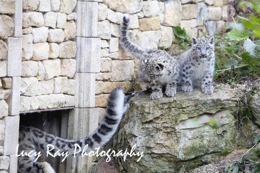 Snow Leopard Cubs42.JPG