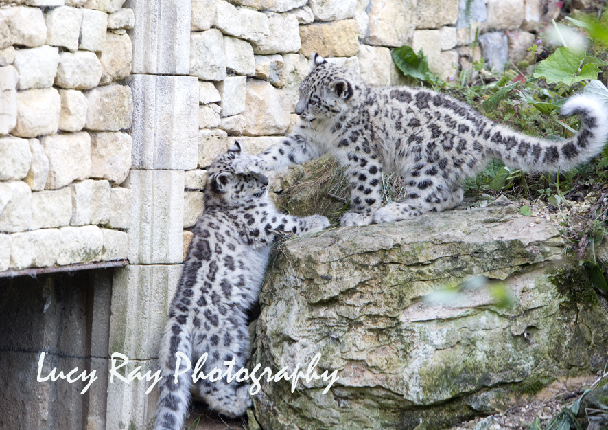 Snow Leopard Cubs43.JPG