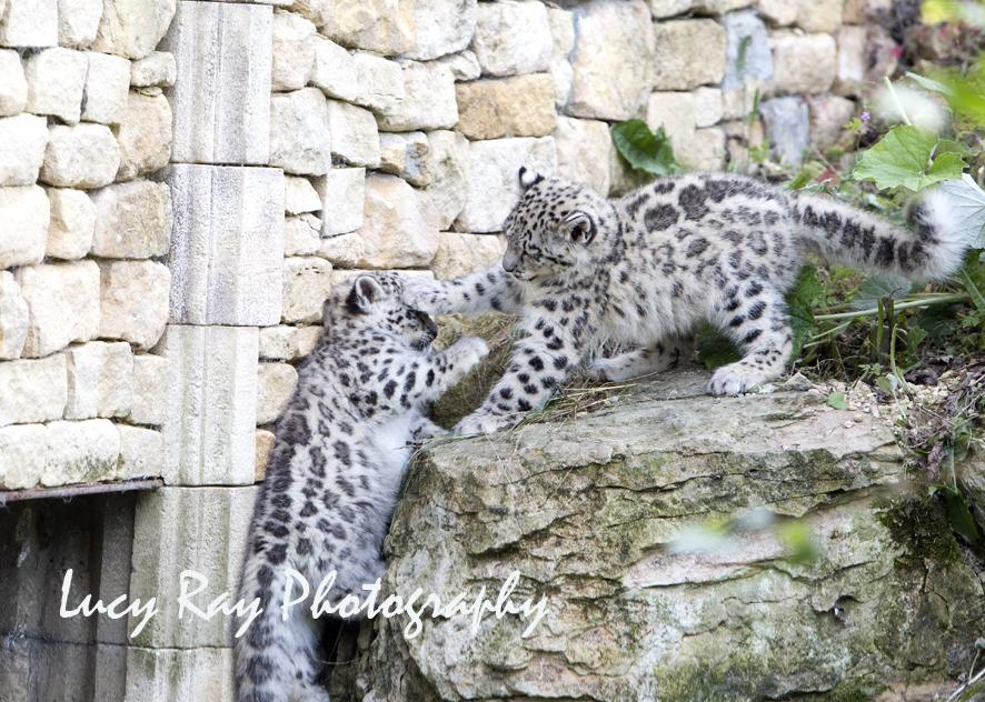 Snow Leopard Cubs46.JPG