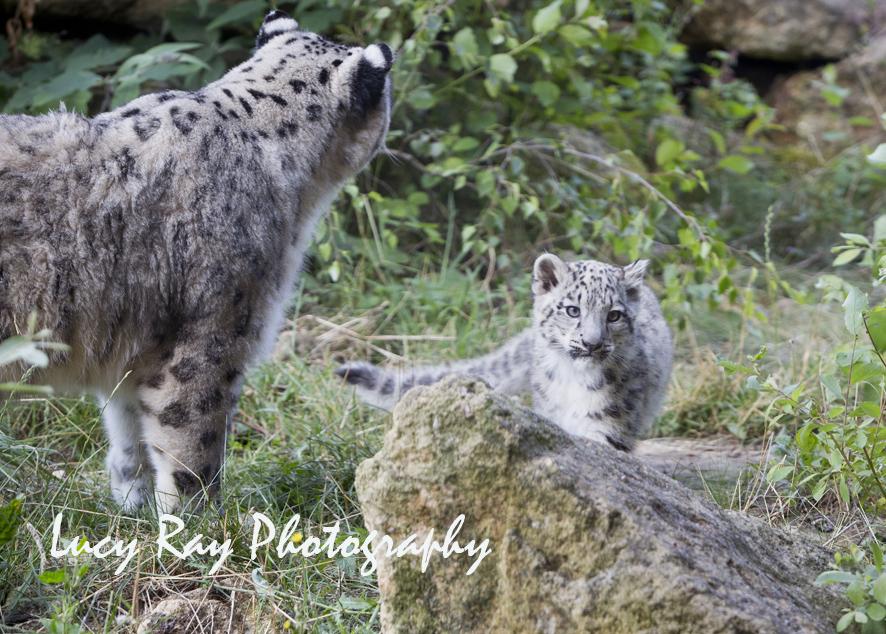 Snow Leopard Cubs49.JPG