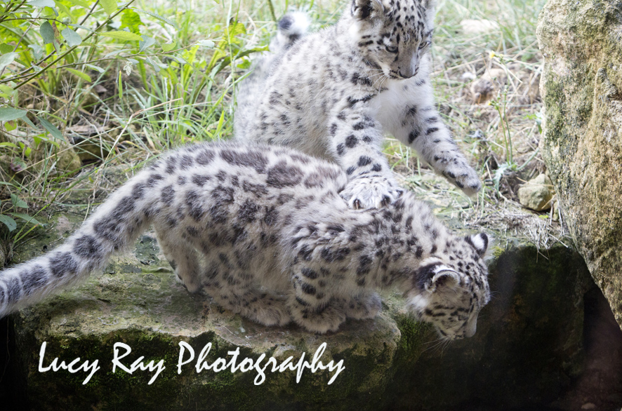 Snow Leopard Cubs51.JPG