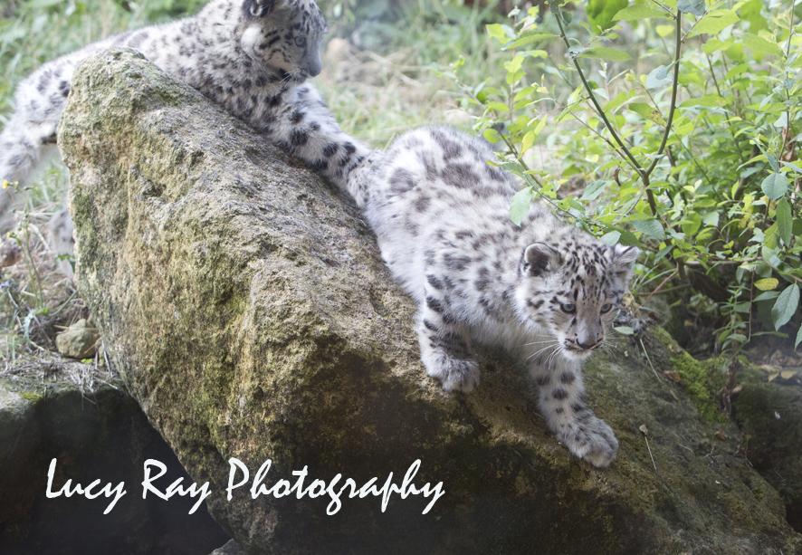 Snow Leopard Cubs52.JPG
