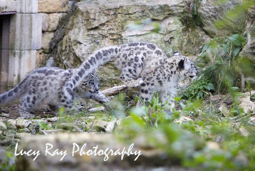 Snow Leopard Cubs53.JPG