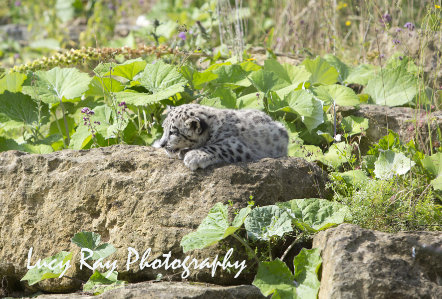 Snow Leopard Cubs58.JPG