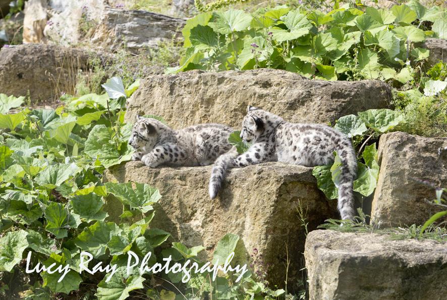 Snow Leopard Cubs62.JPG
