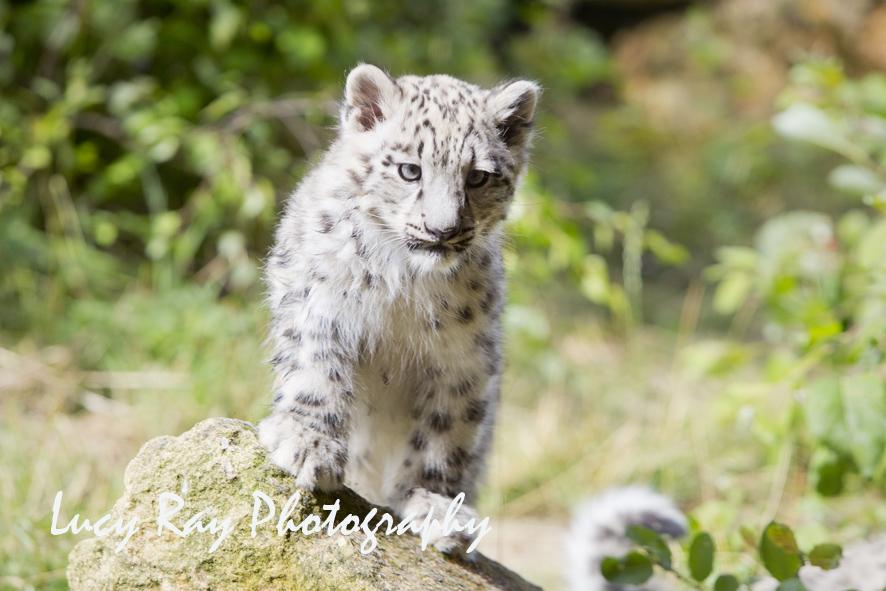 Snow Leopard Cubs64.JPG