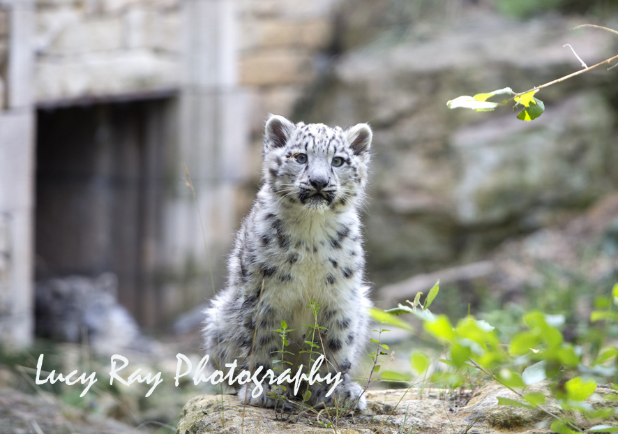 Snow Leopard Cubs69.JPG