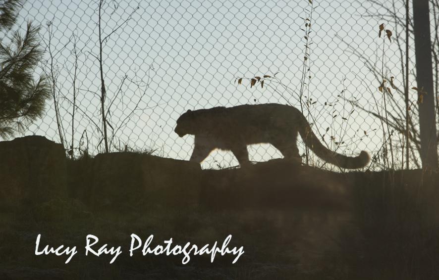 Snow Leopard1.jpg