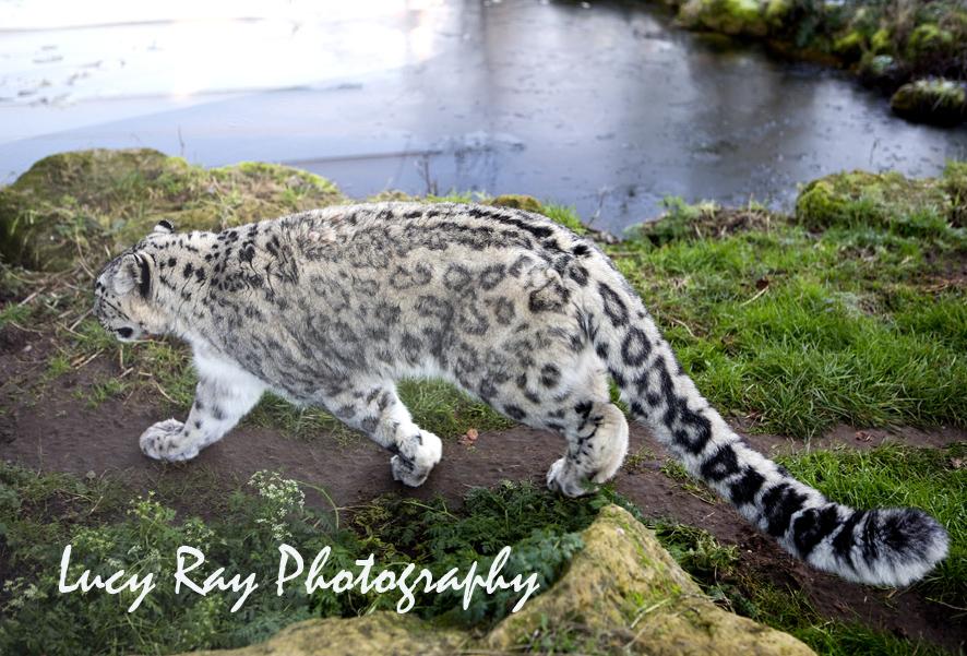 Snow Leopard4.jpg