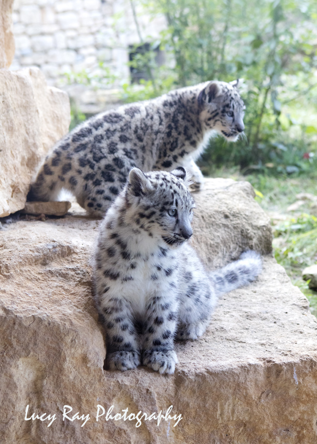 Snow Leopard Cubs3.JPG
