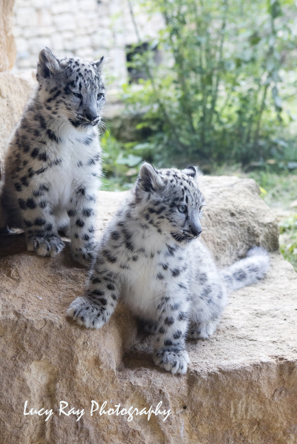 Snow Leopard Cubs2.JPG