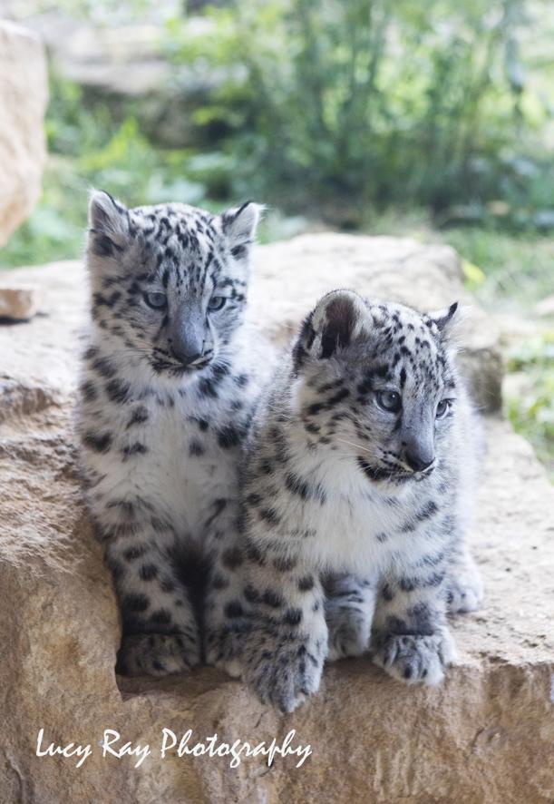 Snow Leopard Cubs7.JPG