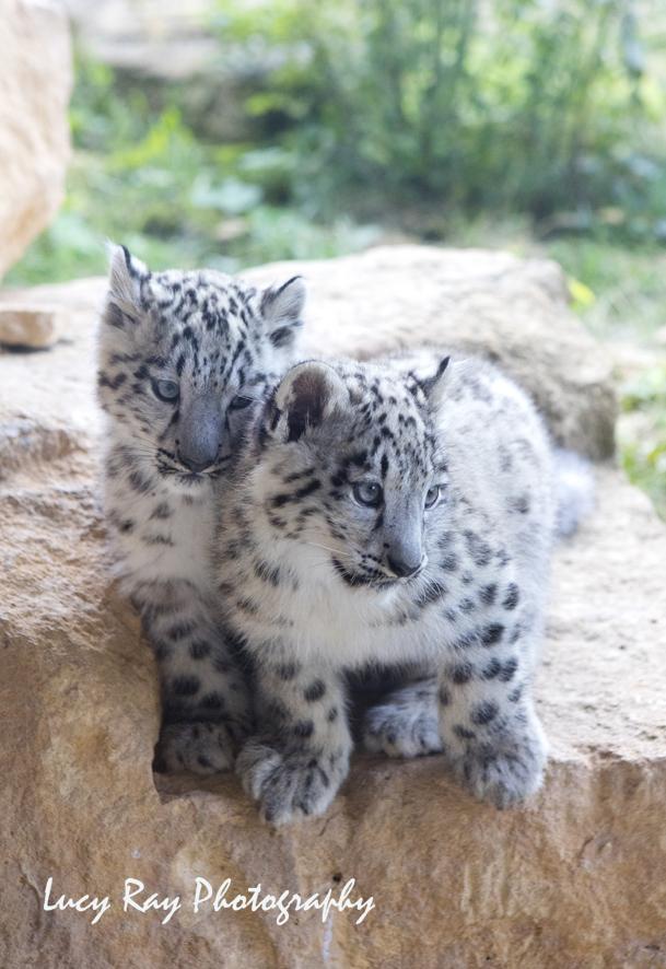 Snow Leopard Cubs8.JPG