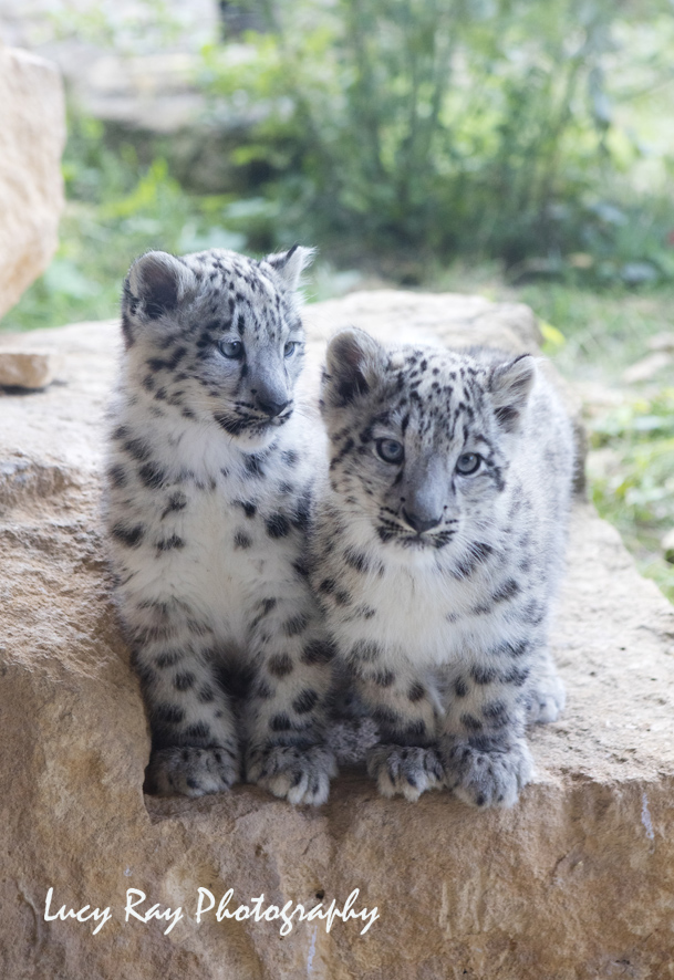 Snow Leopard Cubs6.JPG