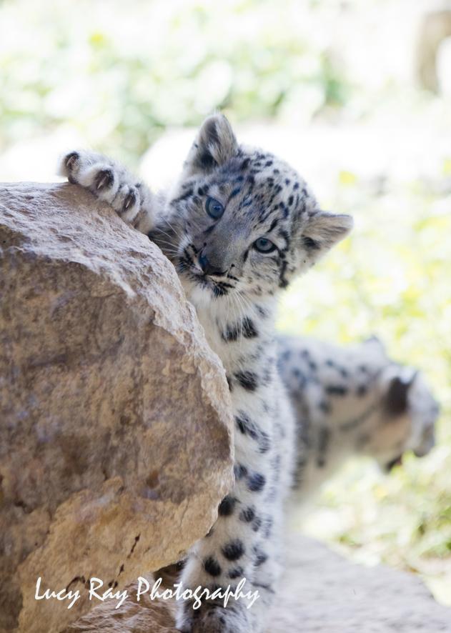 Snow Leopard Cubs24.JPG