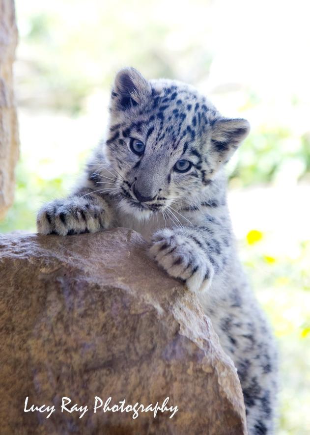 Snow Leopard Cubs25.JPG