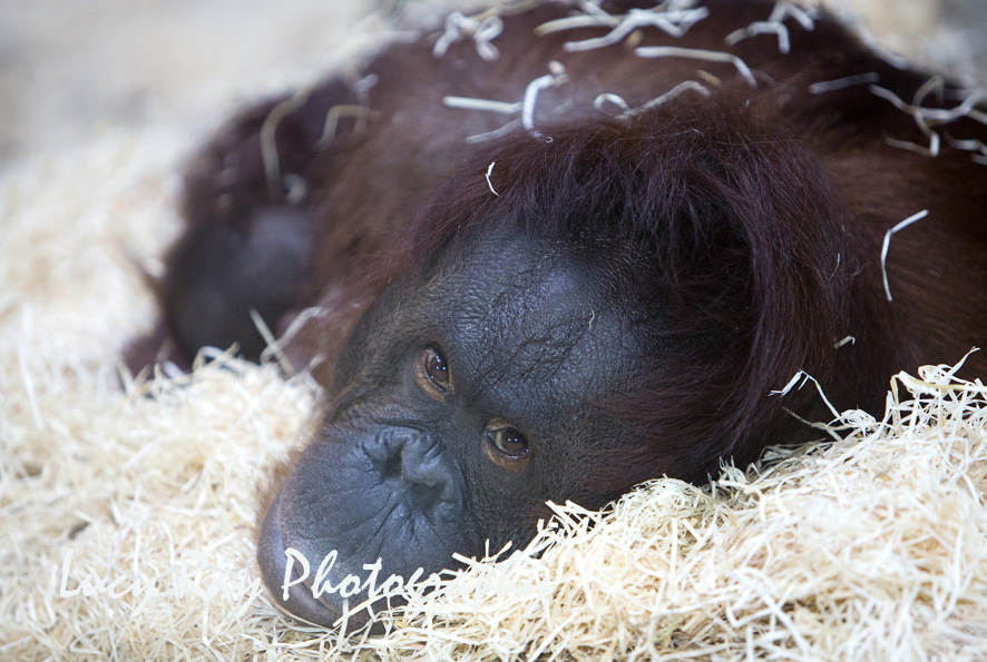 Orangutan Baby2.jpg