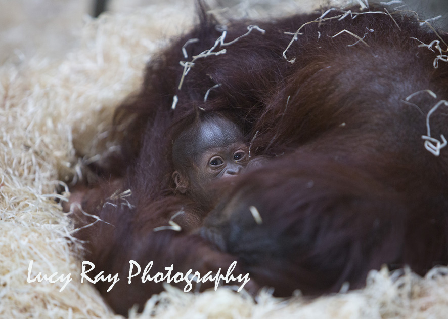 Orangutan Baby3 2.jpg