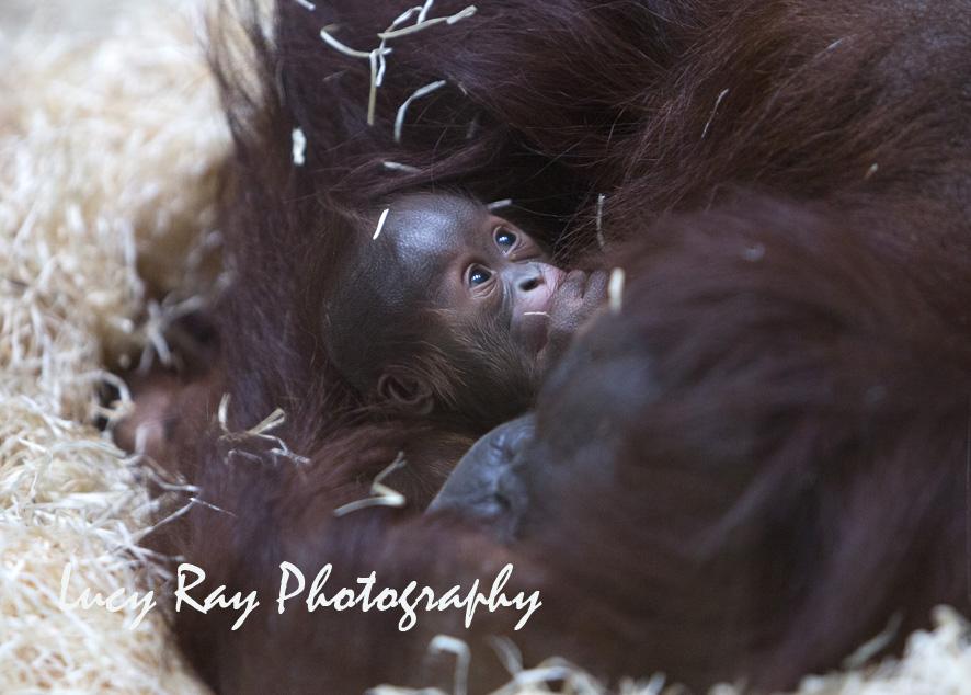 Orangutan Baby4.jpg
