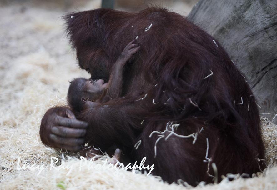 Orangutan Baby6.jpg