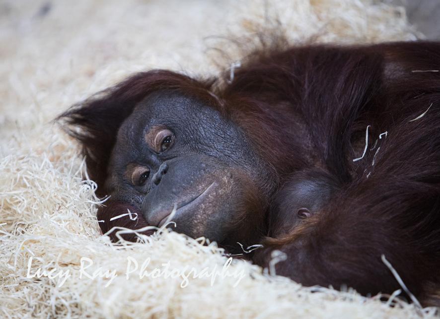 Orangutan Baby9.jpg