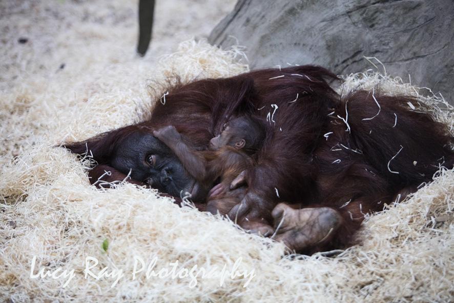 Orangutan Baby12.jpg