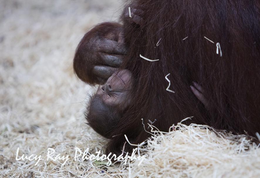 Orangutan Baby13.jpg