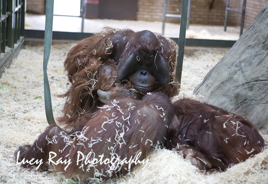 Orangutan Baby19.jpg